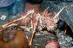 European spider crab, full body view.