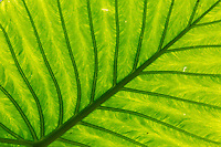 Forest leaf at San Diego de los Banos, Cuba