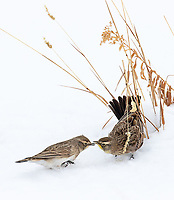 We had some nice views of mixed flocks of Horned Larks and Lapland Longspurs hanging out together.
