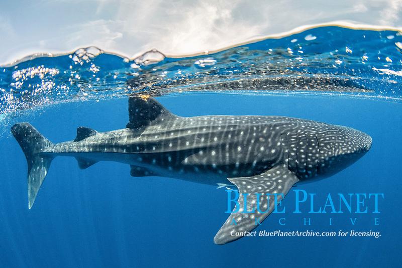 whale shark, Rhincodon typus, Isla Mujeres, Mexico, Caribbean Sea, Atlantic Ocean