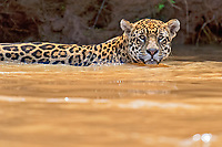 Jaguar (Panthera onca) in a river, Pantanal, Brazil, South America
