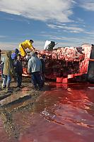 Inupiat Eskimos in Kaktovik harvest a Bowhead whale hunted during the autumn subsistence whale hunt on Barter Island, Beaufort Sea, Alaska.