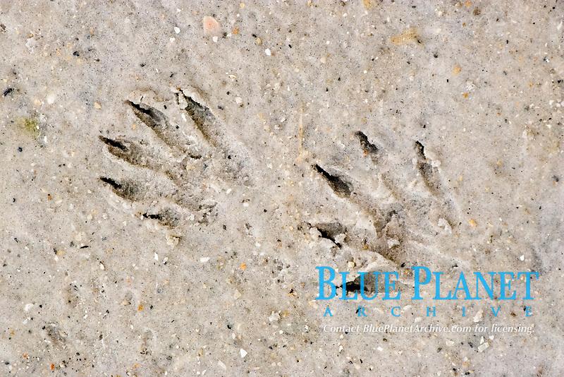 Raccoon (Procyon lotor), footprints in sand