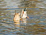 Male and female mallard ducks diving in water.