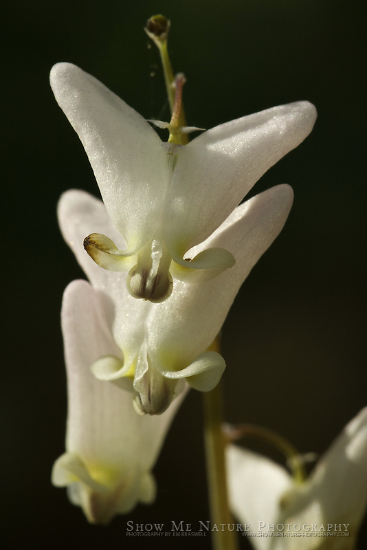 Dutchman's Breeches wildflowers