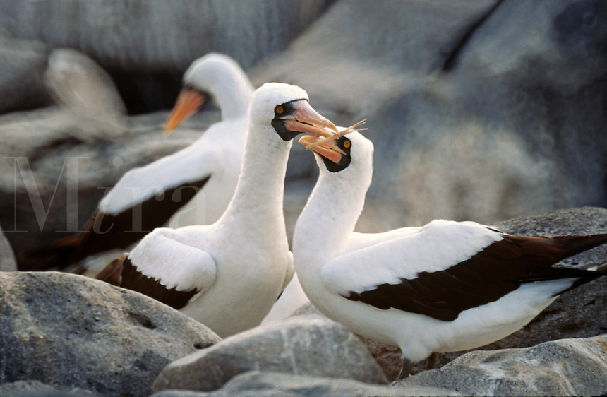 MASKED BOOBY BIRDS (Sula dactyatra) build a nest  - ISABELLA ISLAND, GALAPAGOS ISLANDS, ECUADOR