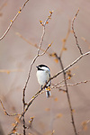 Black-capped chickadee perched on a scrub in the distance.