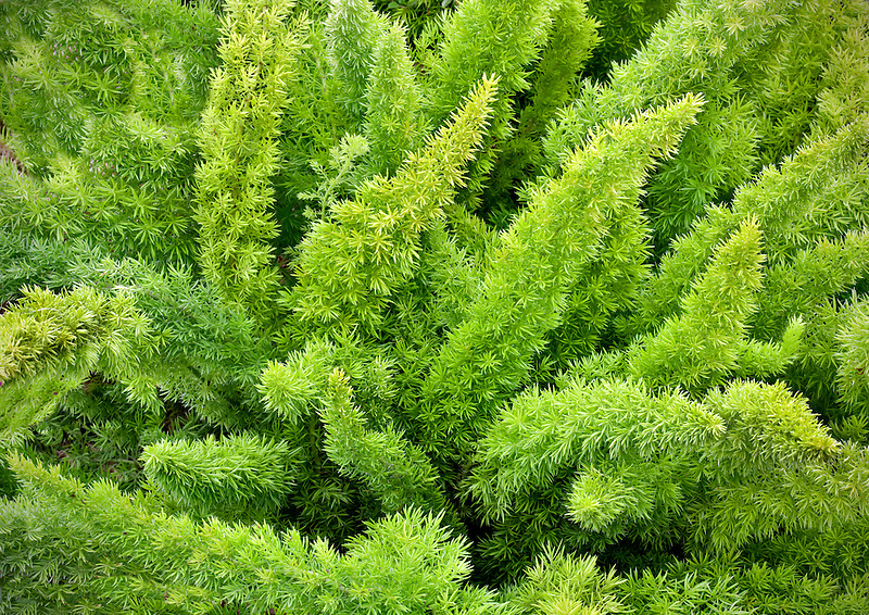 Pony tail fern. Al's Nursery, Oregon