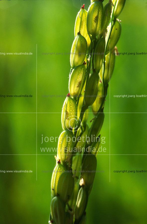 INDIA Taccode, rice plant / INDIEN Reis Rispe