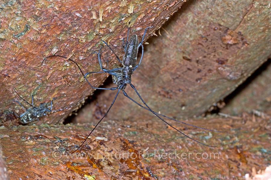 Schneiderbock, Langhornbock, Monochamus sartor, sawyer beetle, Le Monochame tailleur, Monochame sarcleur