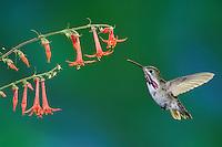 Calliope Hummingbird (Stellula calliope), male feeding on Scarlet Gilia (Ipomopsis aggregata)., Gila National Forest, New Mexico, USA