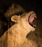 Lions photographed during a night drive at MalaMala.
