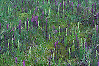 Wildflowers in alpine meadow,Elephanthead lousewort,Elephant's Head,Pedicularis groenlandica,Bog Orchid, Limnorchis sp., Ouray, San Juan Mountains, Rocky Mountains, Colorado, USA, July 2007