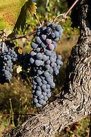 Italien, Umbrien, Weinanbau bei Orvieto