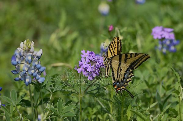 Two-Tailed Swallowtail (Papilio multicaudata), adul tfeeding on Prairie Verbena (Glandularia bipinnatifida) Texas Bluebonnet (Lupinus texensis), Texas, USA
