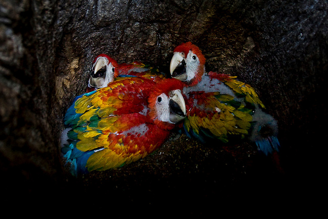 Scarlet Macaw chicks wait for their parents to bring food. Fires and illegal settlement have threatened the Mayan Biosphere's once large population of Scarlet Macaws.