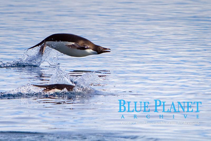 Adelie penguin, Pygoscelis adeliae, adult, jumping, swimming, Antarctic Peninsula, Antarctica, Southern Ocean