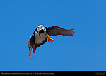 Horned Puffin with Fish, Duck Island, Puffin Island, Tuxedni Bay, Cook Inlet, Alaska