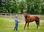 Animal Kingdom, winner of the 137th Kentucky Derby, continues to train for the Preakness at the Fair Hill Training Center on May 16, 2011 in Fair Hill, Maryland. He is being led by Barn Foreman Noe Lagunas.