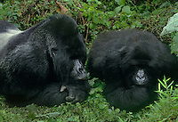 642229027 a wild mountain gorilla silverback and mate gorilla gorilla berengi in the protected cloud forest in the virungas national park in zaire