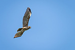 Damon, Texas; a juvenile red-shouldered hawk flying overhead against a blue sky with its beak open, vocalizing