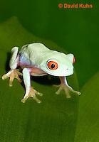 0306-0906  Red-eyed Tree Froglet (Young Frog), Agalychnis callidryas  © David Kuhn/Dwight Kuhn Photography.
