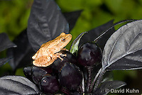 0809-0905  Spring Peeper Frog Climbing in Garden on Ornamental Black Peppers, Pseudacris crucifer (formerly: Hyla crucifer)  © David Kuhn/Dwight Kuhn Photography
