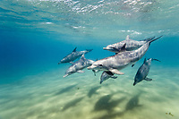 pod of Indo-Pacific bottlenose dolphins, Tursiops aduncus, note penis displays, Sodwana Bay, South Africa, Indian Ocean