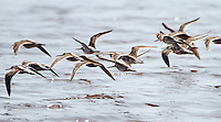 Flock of long-billed dowitchers