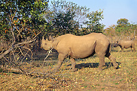 Black Rhinoceroses (Dicmos Bicornis)--mom with calf.  Africa.