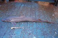 sharkfishing, spiny dogfish, Squalus acanthias, in the market, Isle of Man, British Isles, technically not part of the United Kingdom, Irish Sea, North Atlantic