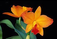 Orchid hybrid: Cattlianthe Hazel Boyd 'Apricot Glow', AM/AOS aka Guarisophleya aka  Sophrolaeliocattleya Hazel Boyd 'Apricot Glow', AM/AOS , Cattleya type hybrid of Cattleya California Apricot x Cattlianthe Jewel Box, 1975