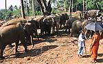 Elephant Orphanage Pinnawela (Elefantenwaisenhaus) close to Kandy, Sri Lanka, Asia