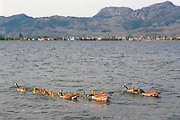 Canada Geese (Branta canadensis) - Canada Goose Family swimming with Gaggle of Young Goslings on Osoyoos Lake, Osoyoos, BC, South Okanagan Valley, British Columbia, Canada, Summer