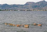 Canada Geese (Branta canadensis) - Canada Goose Family swimming with Gaggle of Young Goslings on Osoyoos Lake, Osoyoos, BC, South Okanagan Valley, British Columbia, Canada, Summer