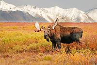 moose, Alces alces, bulls walking on fall tundra in Denali National Park, interior, Alaska, USA