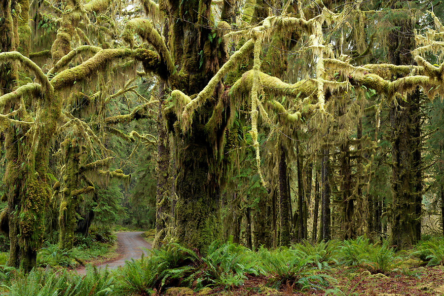 Lower Queets River Road flowing through temperate old-growth forest, Queets rainforest, Olympic National Park, Jefferson County, Washington, USA