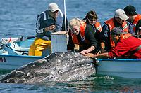 California gray whale, Eschrichtius robustus, calf with excited whale watchers in the calm waters of San Ignacio Lagoon, Baja California Sur, Mexico, Pacific Ocean