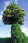ITA, Italien, Marken, Landschaft bei Camerino, bluehender  Kastanienbaum | ITA, Italy, Marche, landscape near Camerino, chestnut tree, blossom