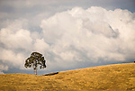 Oaks and clouds on golden hillside, late summer.