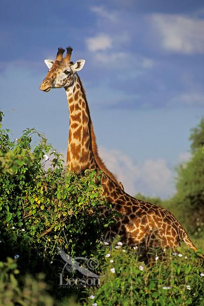 Masai giraffe (Giraffa camelopardalis), Tarangire National Park, Tanzania.