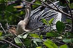 Anhinga nesting