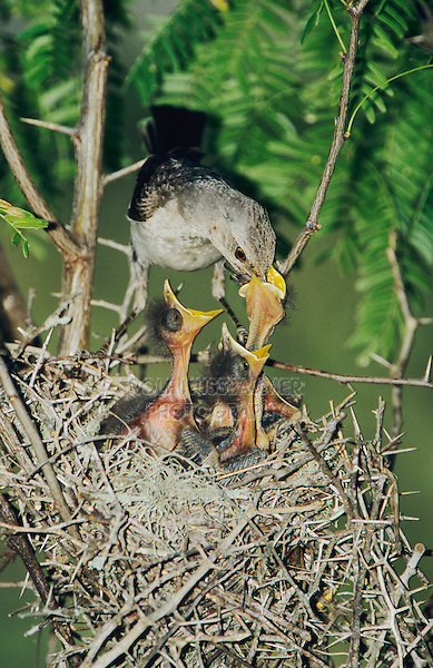 Northern Mockingbird, Mimus polyglottos,adult at nest feeding young, Welder Wildlife Refuge, Sinton, Texas, USA
