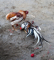 Bali, Indonesia.  Cock Fighting in an Indonesian Village.  Most matches end in the death of one of the two opponents.
