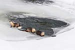 North American river otters (Lontra canadiensis)(formely Lutra canadiensis (probaly female with two near-adult cubs) on the frozen river edge. Upper Yellowstone River, Hayden Valley, Yellowstone, USA. January (stitched image)