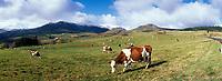 Europe/France/Auverne/63/Puy-de-Dôme/Parc Naturel Régional des Volcans/Les Monts Dore/Env. de la Croix Morand: Vaches en pâturage