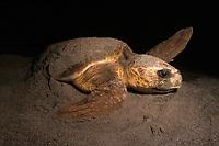 Loggerhead turtle, Caretta caretta, nesting, Florida