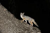 Gray Fox (Urocyon cinereoargenteus), adult at night climbing Live Oak tree (Quercus virginiana), Dinero, Lake Corpus Christi, South Texas, USA