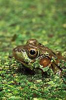 Green Frog in duckweed..Southern Ontario., Canada..Rana clamitans melanota.