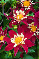Dahlia 'Night Butterfly' red and white collarette type